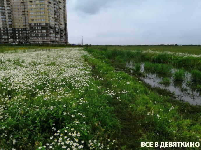 ромашковые поля в Мурино