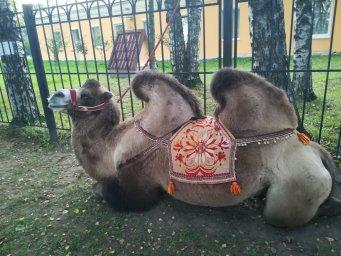 Верблюд в Мурино